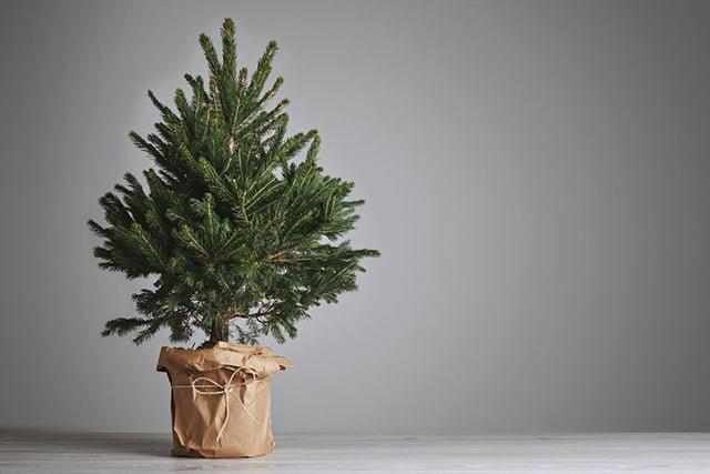 елка в горшке