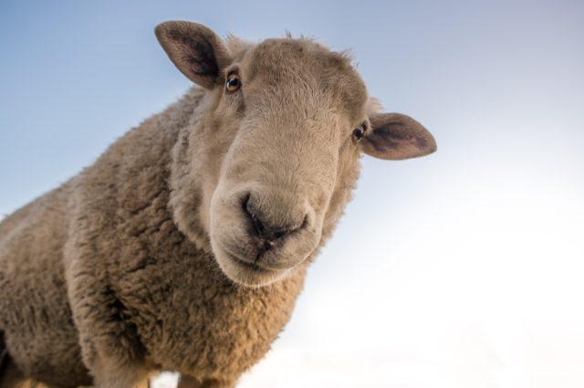 Овца Меринос